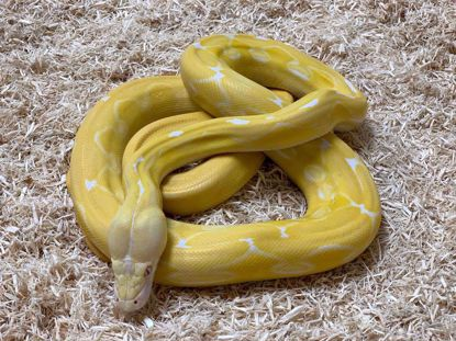 Picture of Jay's Pick Male Super Sunfire Tiger White Albino Reticulated Python